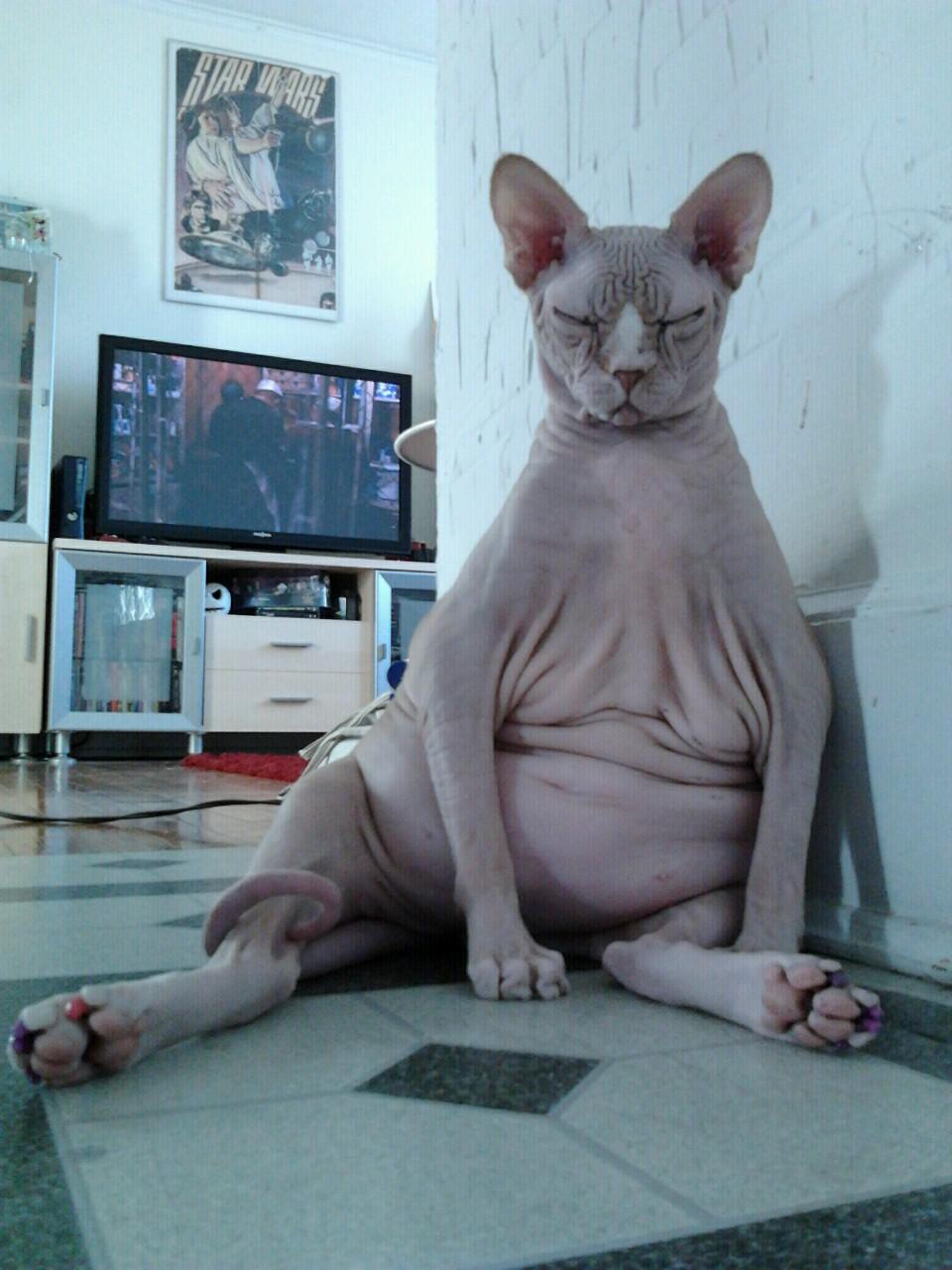 Фото беременной кошки сфинкс прикол