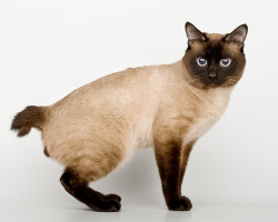 CATS-PICTURES.ORG_-_767-900×633-mekong+bobtail-solo-brown+hair-standing-black+nose-blue+eyes