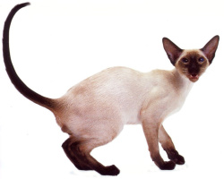 cat_siamese_007