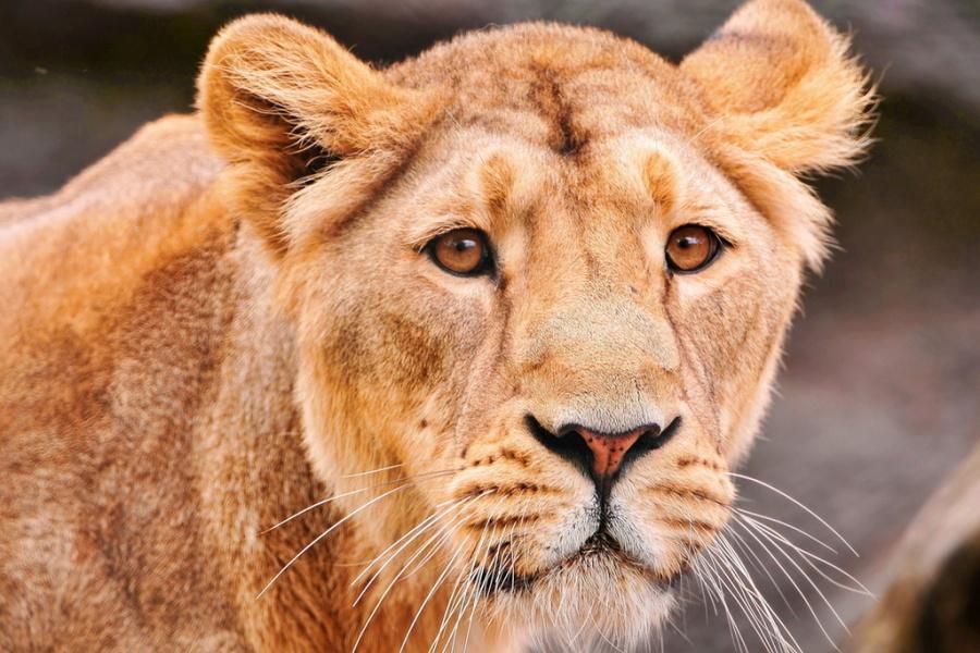 льви и львицы13
