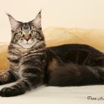 Мейн-кун — самая крупная порода домашних кошек.