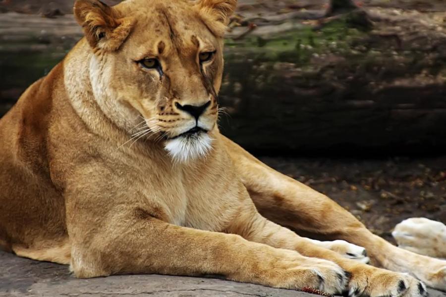 льви и львицы11