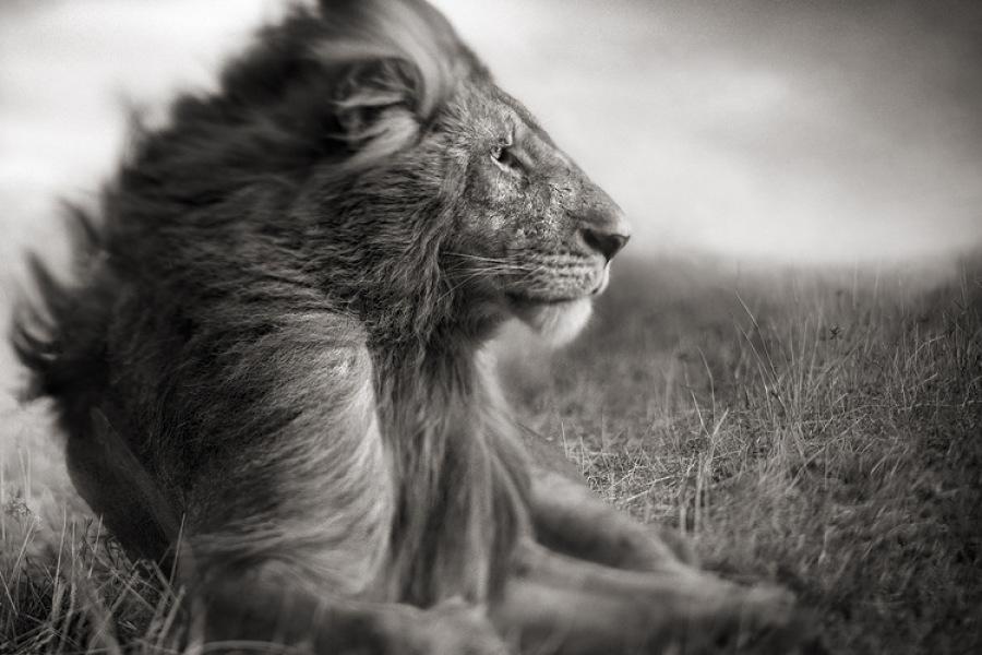 льви и львицы