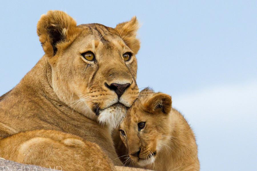 льви и львицы9