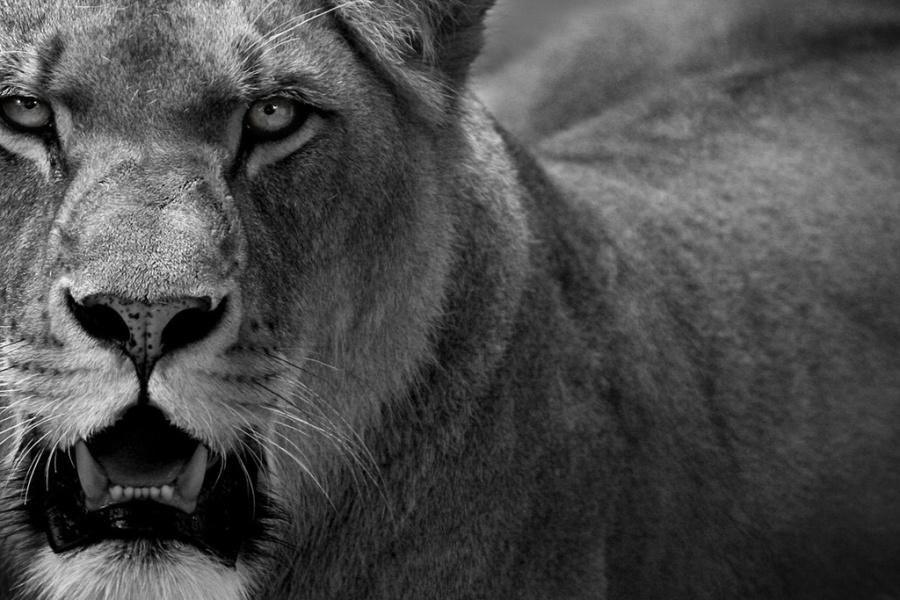 льви и львицы12