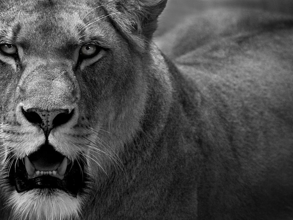"""Результат пошуку зображень за запитом """"льві"""""""