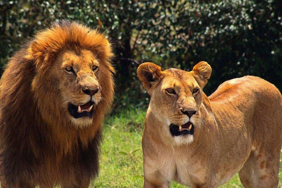 льви и львицы6