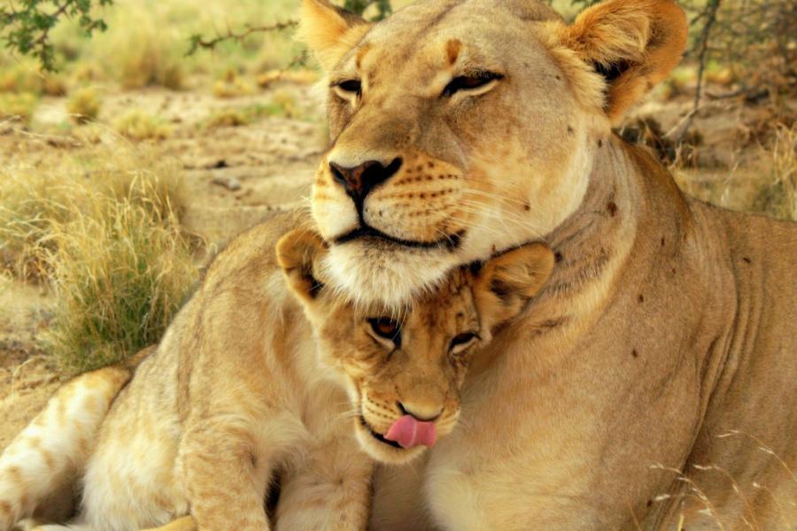 льви и львицы5