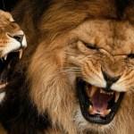 Львицы и львы
