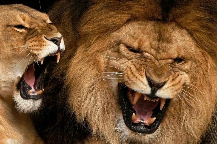 льви и львицы10
