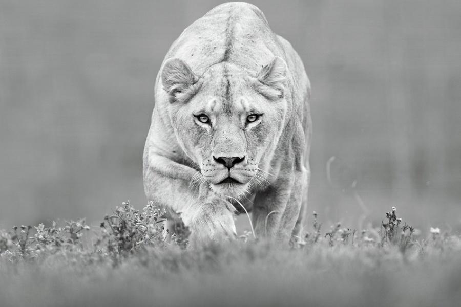льви и львицы2