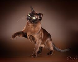 Бурмы, бурманские кошки