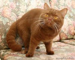 Британский короткошерстный кот молодая корица
