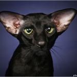 Чем сиамская кошка отличается от ориентальной?