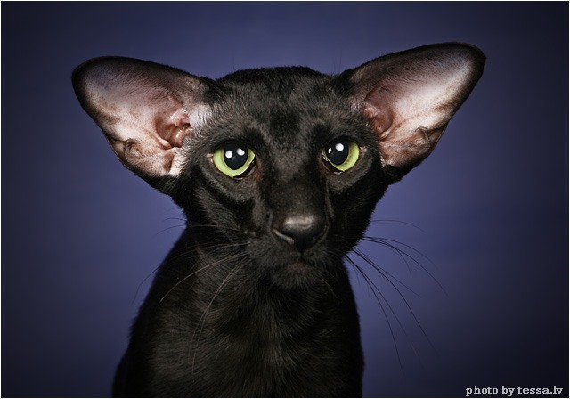 Ориентальная и сиамская породы кошек