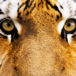 Про тигров