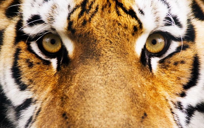 Самка тигра редкого вида дала потомство в индонезийском зоопарке