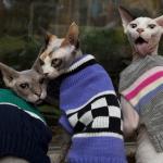 18 безумно симпатичных котов в стильных кардиганах