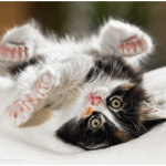 Почему кошки приземляются на лапы