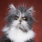 Кот Атчум — седой кот
