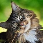 Токсоплазмоз при беременности (опасны ли кошки?)
