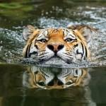 Тигры и их дикий животный магнетизм в 20 фотографиях