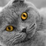 Чем кормить шотландского вислоухого кота?