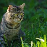 Снотворное и успокоительное для кошек