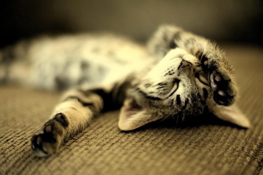 Почему коты дергаются во сне — кошка когда спит дергается