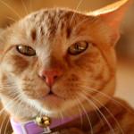 Причиной появления ушной чесотки у кошек является миниатюрный паразит – ушной клещ