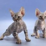 Гипоаллергенные породы кошек — существуют ли они?