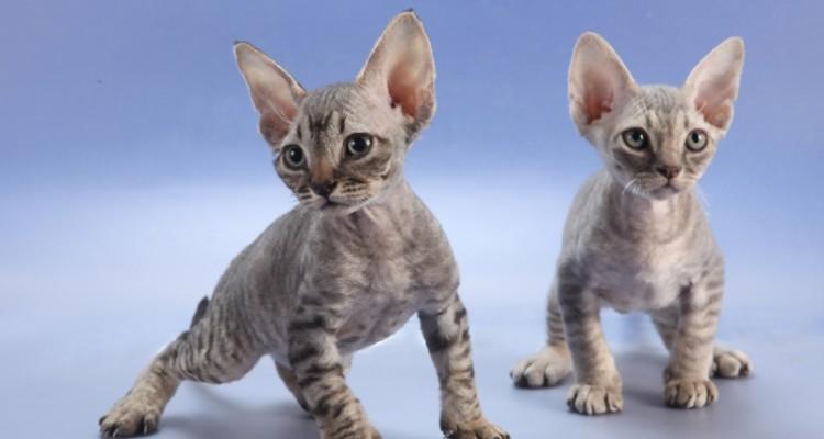 гипоаллергенные кошки породы фото