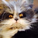 Atchoum (Апчхи) – кот со взглядом дьявола