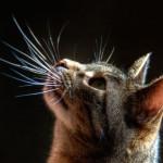 Осязание. Усы кошки — вибриссы