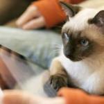 Немного любопытных фактов о сиамских кошках