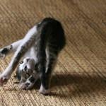 Вредна ли валерьянка для кошек