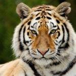 Невероятное преображение тигрицы, спасенной из цирка.