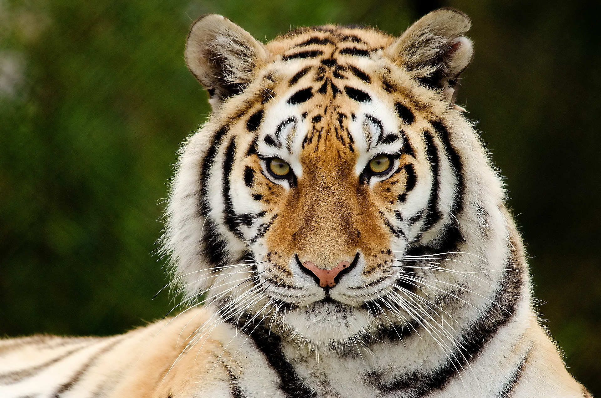 Tiger Pictures  Tiger Wallpapers  National Geographic